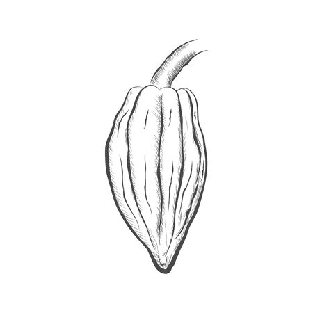 Fruit of chocolate tree - Theobroma cacao - isolated on white background. Hand drawn sketch in vintage engraving style. Botanical vector illustration 矢量图像