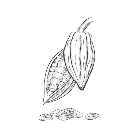 Whole fruit chocolate tree and in a cut with cocoa beans - Theobroma cacao - isolated on white background. Hand drawn sketch in vintage engraving style. Botanical vector illustration 矢量图像