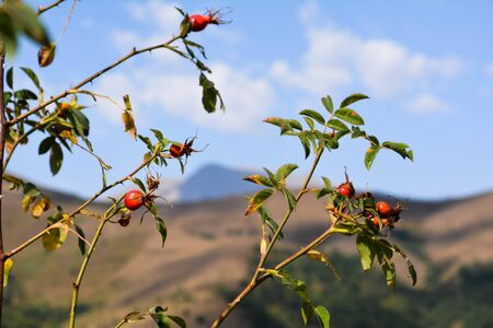Mountain and rosehip tree. Landscape, nature Stock Photo
