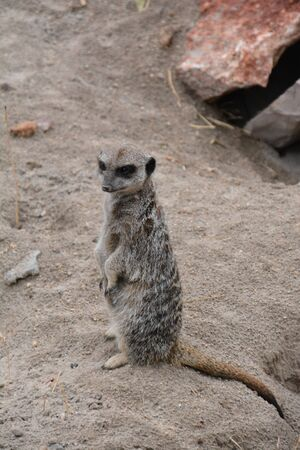African meerkat wild life photos. Suricate - a cute, predatory animal from Africa