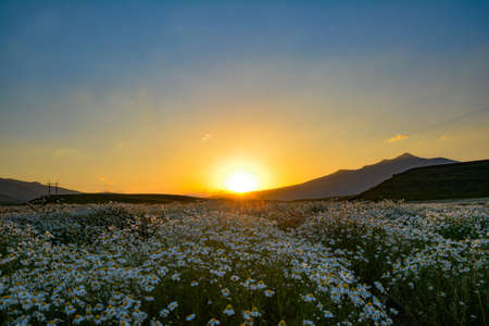 Beautiful sunrise over a field of chamomile Stock fotó