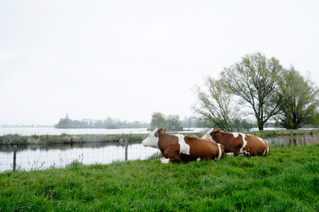 plassen: Two cows lying and looking over lake Langeraarsche Plassen, Netherlands