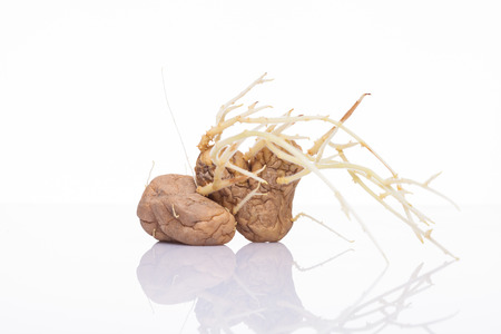 sprung: Sprung potatoes with sprouts isolated on white background