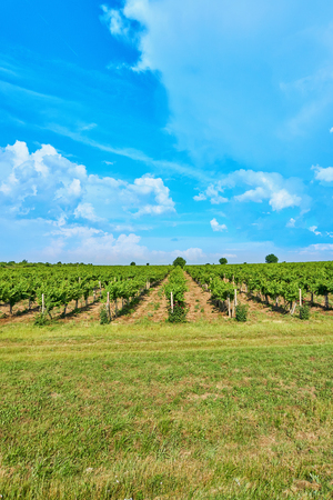 Bright sunny day Vineyard over hill with beautiful blue sky with clouds