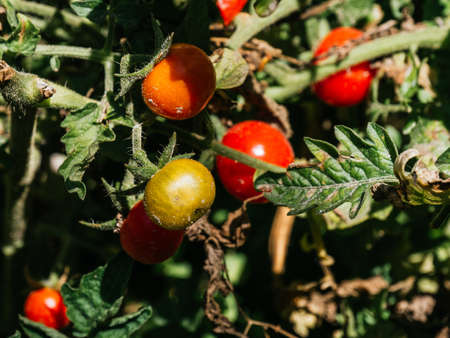 cherry tomatoes ready to be harvested, sunny day