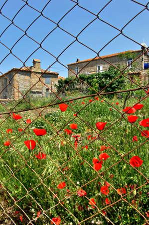 Poppy garden in Gokceada Turkey 版權商用圖片