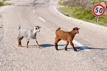 Baby goats on the road in Turkey
