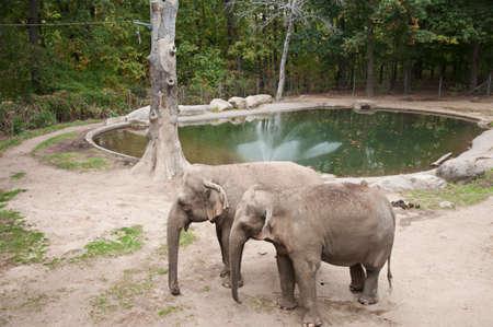 African elephants in zoo Reklamní fotografie