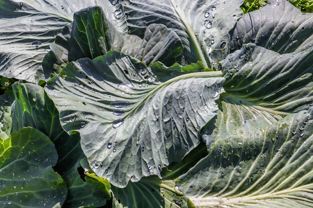curve: Randomly laying cabbage leaves with water drops from rain Stock Photo