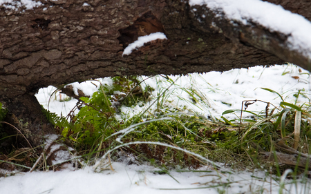 Green plants in winter. Under the trunk of fallen tree. Weather anomaly