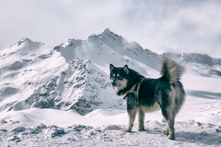 The husky breed dog in the snow. Landscape of snow-capped mountain peaks