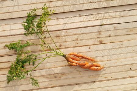 Deformed carrot on light wooden background. Twisted carrot root with green tops. Copyspace