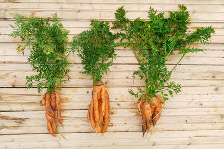 Unusual carrots on light wooden background. Three freshly dug carrots of various shapes 版權商用圖片