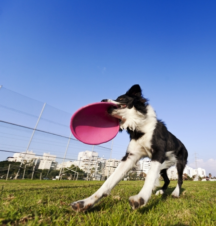 Wide   low angle view of a Border Collie dog caught in the middle of catching a dog frisby toy with his mouth, on a sunny day at an urban park  photo