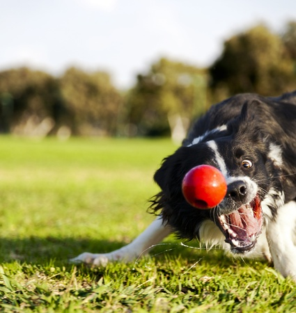 catching: A Border Collie dog caught in the middle of catching a red rubber ball, on a sunny day at an urban park
