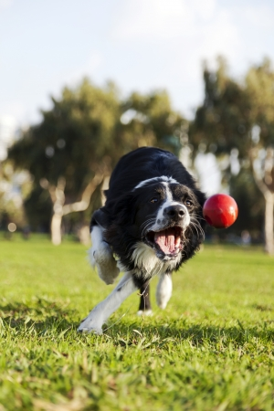 A Border Collie dog caught in the middle of catching a red rubber ball, on a sunny day at an urban park
