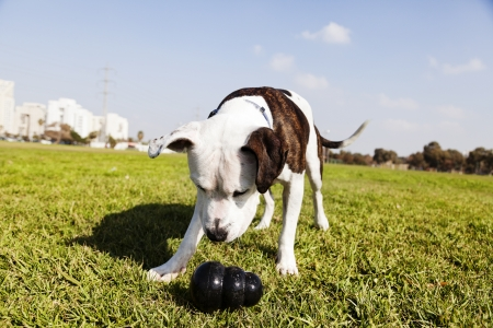 Tilted wide angle view of a Pitbull looking at his black chew toy laying on the grass at an urban park.