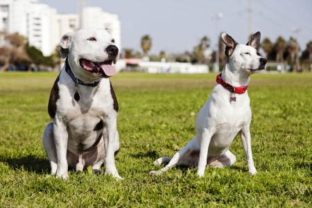 Two dogs, a Pitbull on the left and a mixed Jack Russel on the right, sitting together on the grass at an urban park.