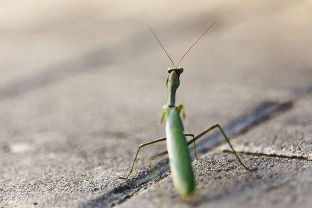 Macro shot of a Praying Mantis on a streets pavement, looking at the camera. Shallow depth of field. photo
