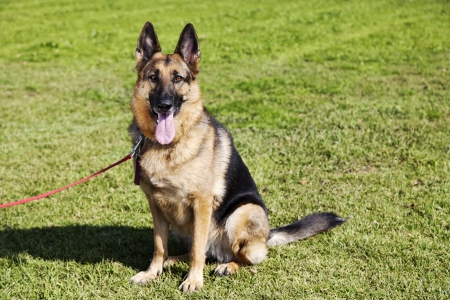 german shepherd: Portrait of a German Shepherd dog, sitting on the grass at the park on a sunny day. Stock Photo