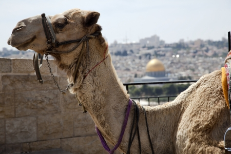 A smiling camel in Jerusalem, resting at a Mount of Olives viewpoint on the old city of Jerusalem  In the background, defocused, is the world famous Dome of the Rock  photo