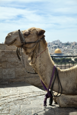 A smiling camel in Jerusalem, resting at a Mount of Olives viewpoint on the old city of Jerusalem. In the background, defocused, is the world famous Dome of the Rock. photo