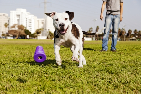 A Pitbull dog running after its chew toy with its owner standing close by. Stock Photo