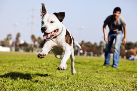 dog running: A Pitbull dog  mid-air, running after its chew toy with its owner standing close by.