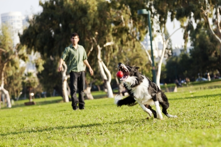 fetch: A Border Collie dog caught in the middle of catching a red rubber ball, on a sunny day at an urban park  His owner can be seen observing the action from the background