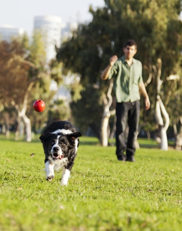 A Border Collie dog caught in the middle of catching a red rubber ball, on a sunny day at an urban park  His owner can be seen observing the action from the background
