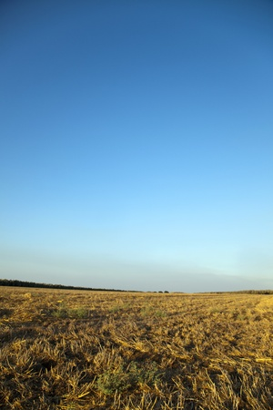 sulight: A harvested field vibrantly lit by late afternoon sun under clear sky.
