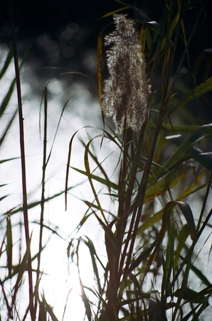 nature reserves of israel: Common Reed plant (Phragmites australis) in HaChoola Natural Reserve, Israel. Stock Photo