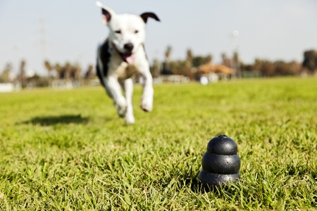 A black dog toy at the front of the frame, with a blurred Pitbull running towards it from the distance.