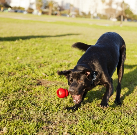 A mixed Labrador dog caught in the middle of catching a red rubber chew toy, on a sunny day at an urban park.