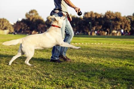 perro labrador: Una perra mezcla de Labrador mirando hacia arriba y corriendo detr�s del juguete para masticar su entrenador est� sosteniendo. Foto de archivo