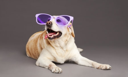 Studio portrait of a white Labrador wearing oversized funny violet  plastic glasses, and looking up with a large smile on its face  photo