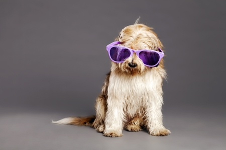 over sized: Studio portrait of a mixed-race dog, its eyes hidden by the over sized funky purple glases and lots of fur  Stock Photo