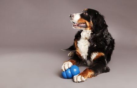 Studio portrait of a Bernard Sennenhund dog with its blue chew toy at its feet