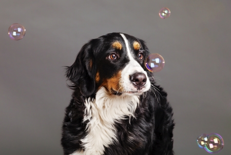 sennenhund: A Bernard Sennenhund dog transfixed on the soap bubbles around floating around in the studio. Stock Photo