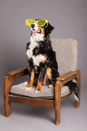 over sized: Studio shot of a Bernard Sennenhund dog wearing funky over sized purple glasses, sitting on an armchair.