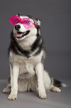 Studio portrait of a Siberian Husky female dog wearing a pair of funky heart-shaped pink glasses. photo