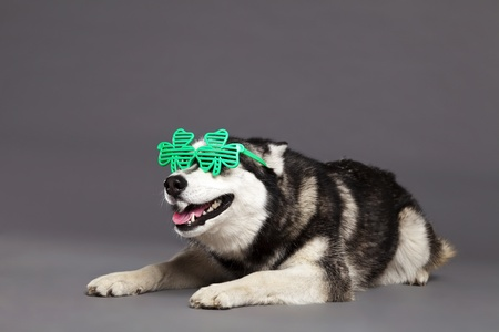 Studio portrait of a Siberian Husky female dog wearing a pair of funky clover-shaped green glasses. photo