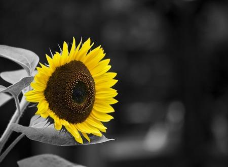 Standout sunflower photo