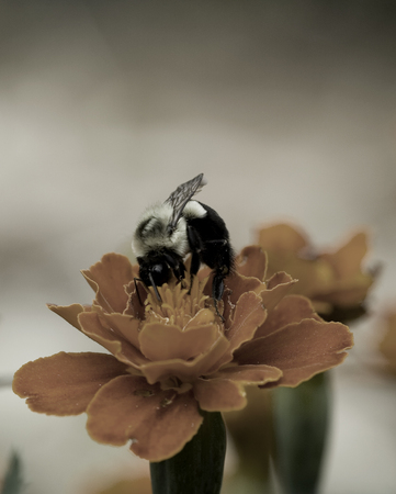 desaturated: Bumble bee eating from an orange flower desaturated Stock Photo