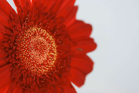 Red flower with white pollen macro