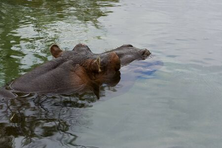 hippo in water with head sticking out photo