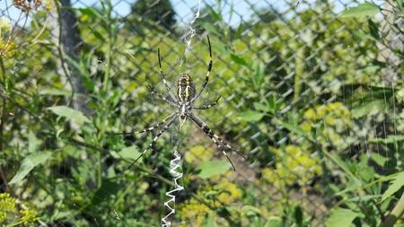 Arhipop Brunnich or Spider wasp. Spider wasp in grass under the sun