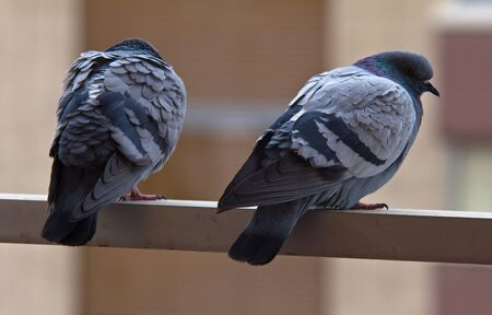 A couple of pigeons placed in a rail, looking at the street.