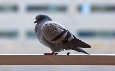 Pigeon in a rail doing its thing, concept for bad luck Stock Photo