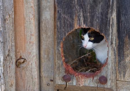 Cat hidden behind a hole in an old wooden door.